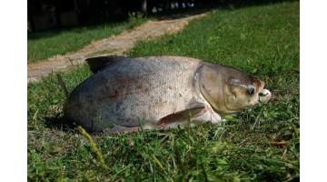 Как поймать толстолобика